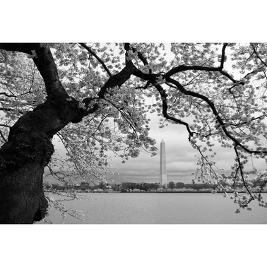 Capital Art Cherry Blossoms with the Washington Monument in Black and White Canvas