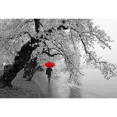 Capital Art Cherry Blossoms Blooming in the Rain, B&W with a Red Umbrella Canvas