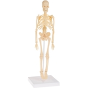 Hey! Play! Human Skeleton Model Learning Kit