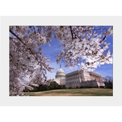 Capital Art Cherry Blossoms at US Capitol SW Corner View Sunny Spring Day Matte