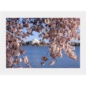 Capital Art Cherry Blossoms at the Tidal Basin with the Jefferson Memorial Matte