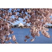 Capital Art Cherry Blossoms at the Tidal Basin with the Jefferson Memorial Canvas