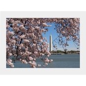 Capital Art Cherry Blossoms with the Washington Monument on a Cloudless Day Matte