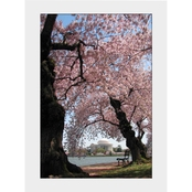 Capital Art Cherry Blossoms Blooming/Framing Jefferson Memorial on Sunny Day Matte