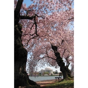Capital Art Cherry Blossoms Blooming/Framing Jefferson Memorial on Sunny Day Canvas