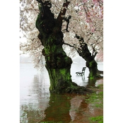 Capital Art Cherry Blossoms Blooming with a Bench During a Raining Day Flood Canvas