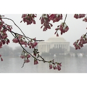 Capital Art Cherry Blossoms with Jefferson Monument on a Rainy Day Canvas