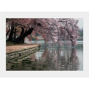 Capital Art Cherry Blossoms Blooming and Hanging Over the Tidal Basin Matte