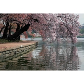 Capital Art Cherry Blossoms Blooming and Hanging Over the Tidal Basin Canvas