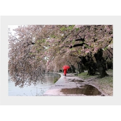 Capital Art Cherry Blossoms Blooming in the Rain with a Red Umbrella Matte