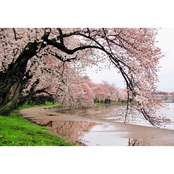 Capital Art Cherry Blossoms by the Tidal Basin after a Daytime Rain Canvas