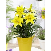 Van Zyverden Patio Lily Lemon Pixie with Yellow Metal Planter and Growers Pot