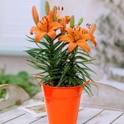 Van Zyverden Patio Lily Orange Pixie with Orange Metal Planter and Growers Pot