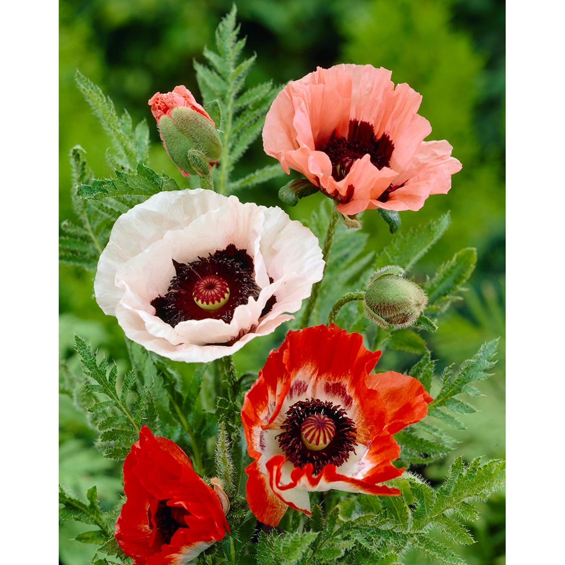 Van Zyverden Poppies Mixed Roots 5 Ct Garden Plants Flowers