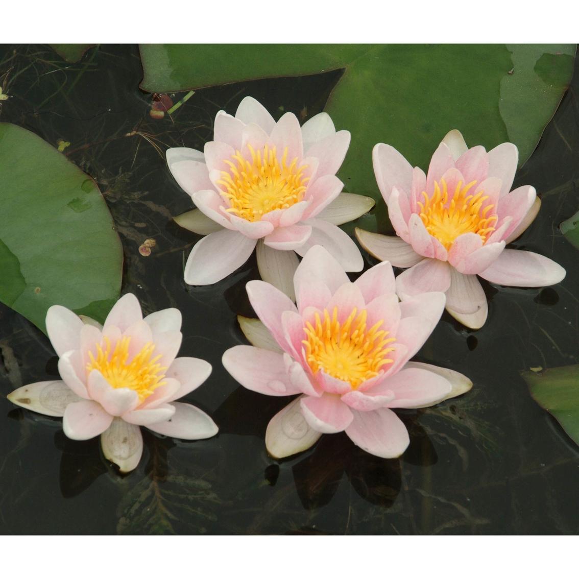 Van Zyverden Premium Series Water Lily Mary Patricia Kit Garden