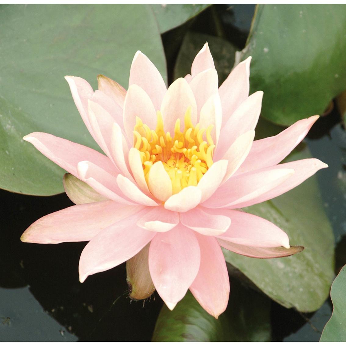 Van Zyverden Premium Series Water Lily Colorado Kit Garden Plants